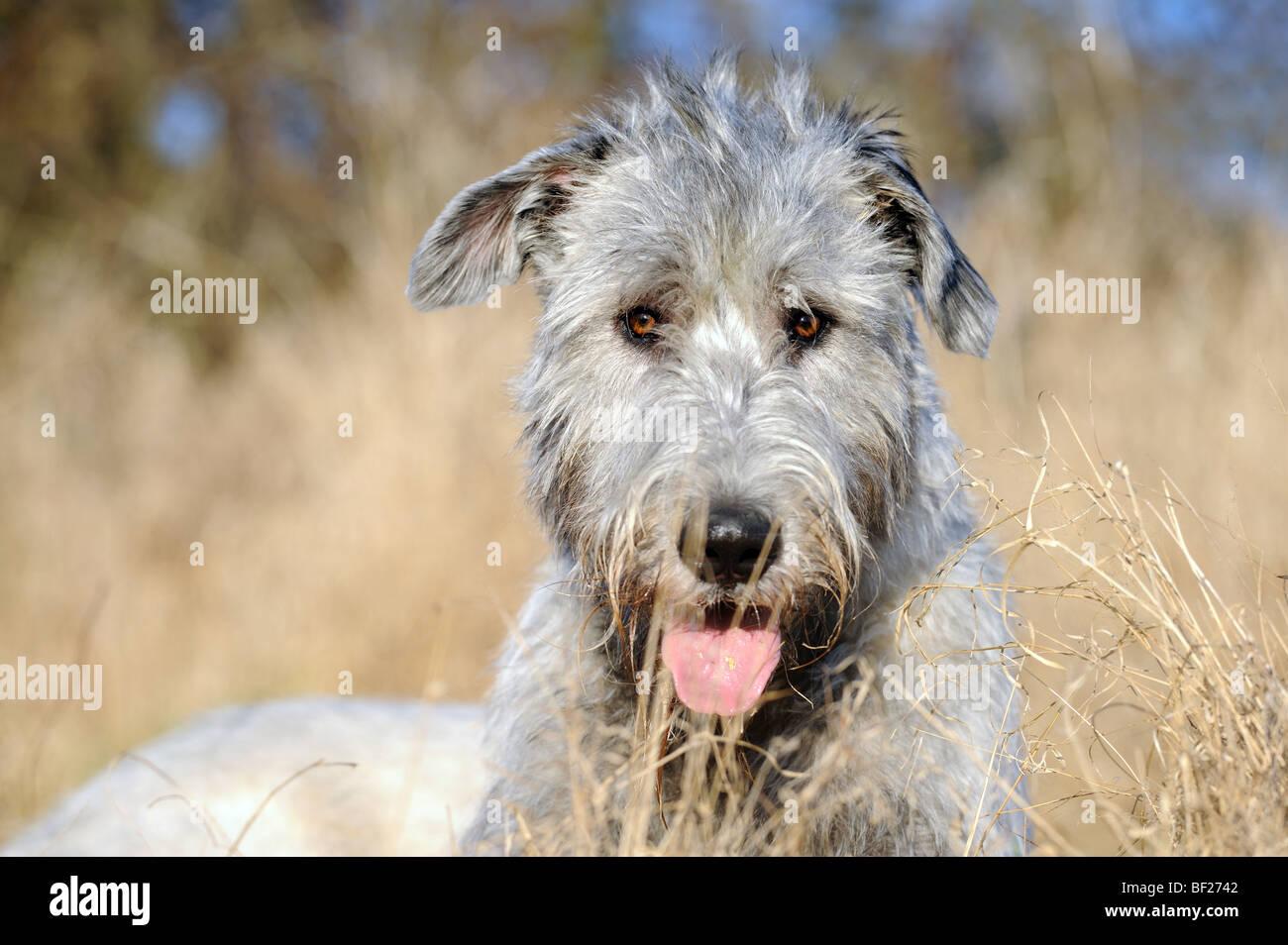 Irish Wolfhound (Canis lupus familiaris), portrait of adult. Stock Photo