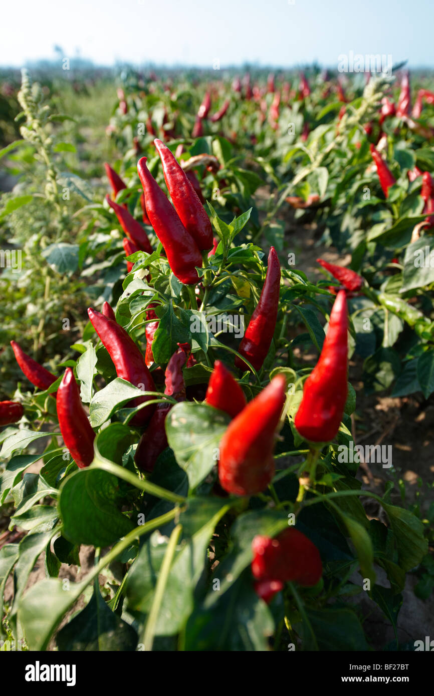 Capsicum annuum or chili peppers being grown to make Hungarian paprika -  Hungary - Stock Image