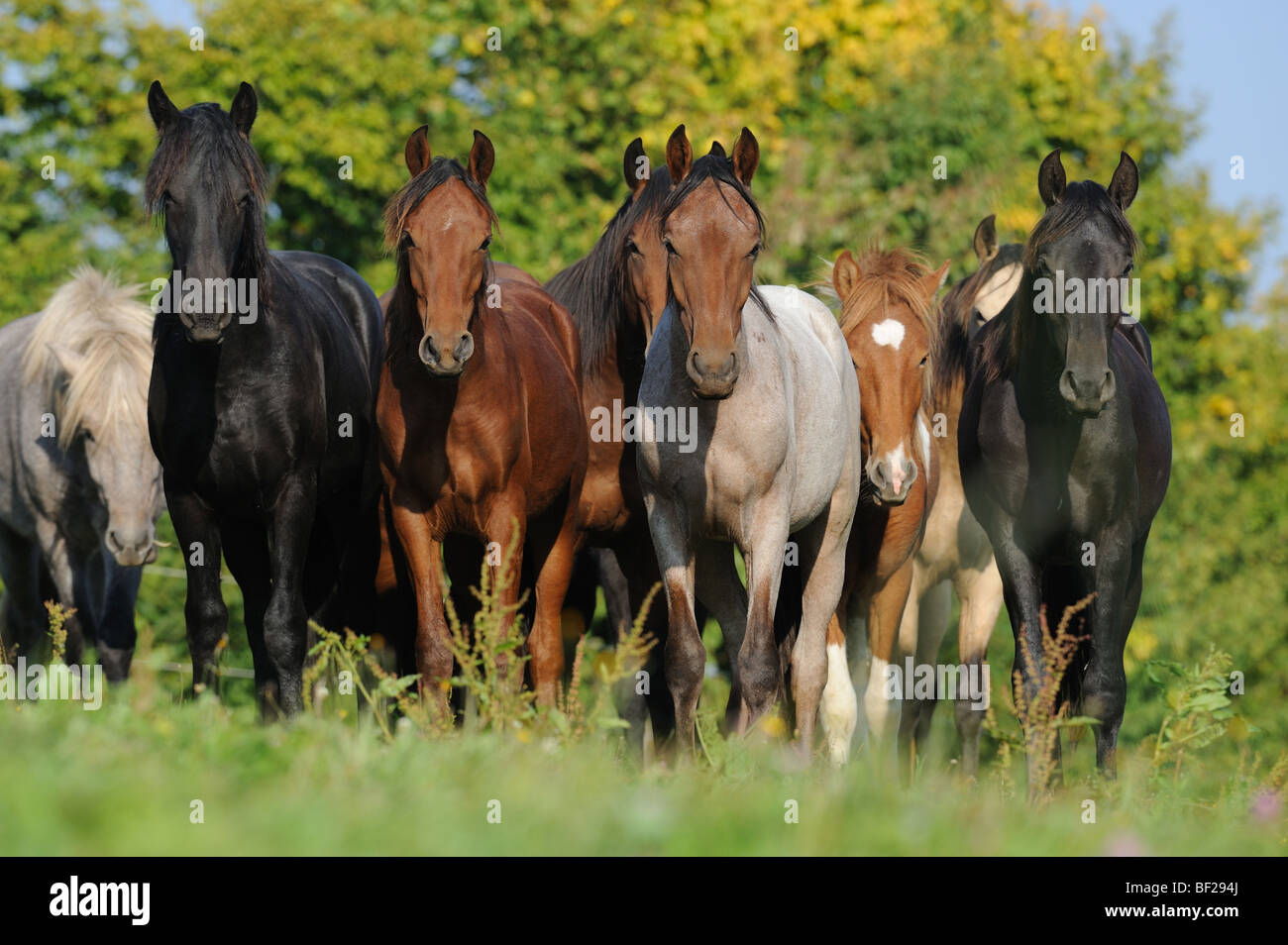 Mangalarga Marchador and Icelandic Horse (Equus caballus). Herd of young stallions looking into the camera. - Stock Image
