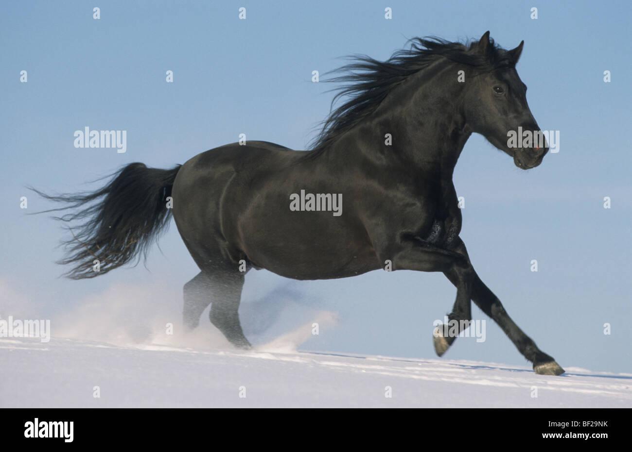 Paso Fino (Equus caballus). Black stallion in gallop over snow. - Stock Image