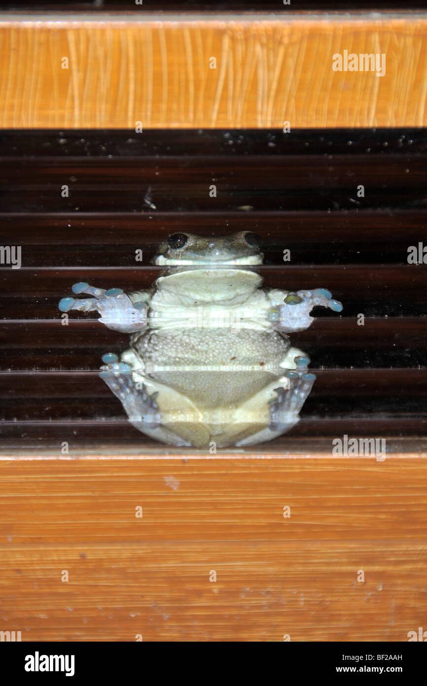 Frog stuck on glass window, Hyla sp., Fazenda San Francisco, Miranda, Mato Grosso do Sul, Brazil - Stock Image