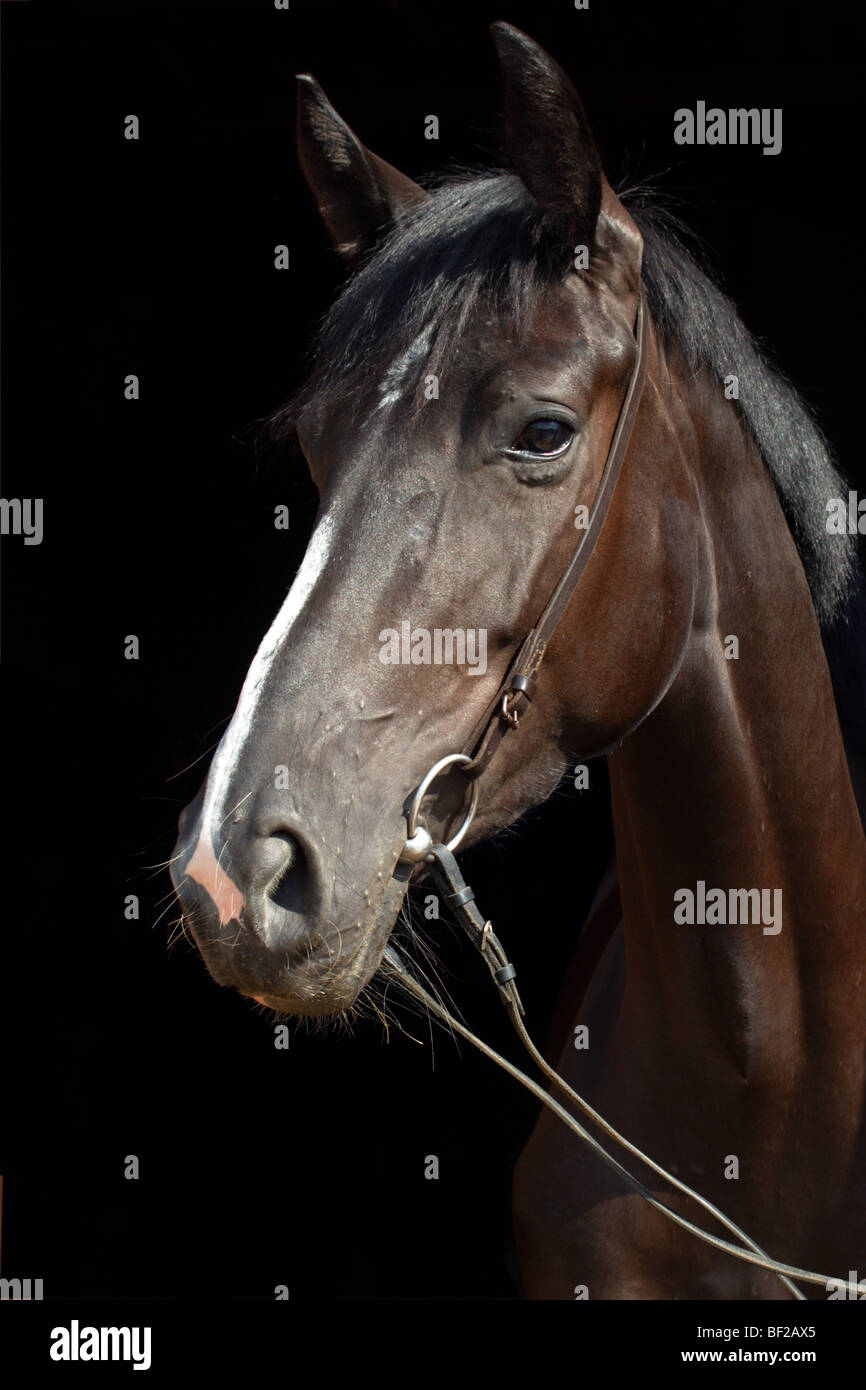 German horse - portrait in front of black background - Stock Image