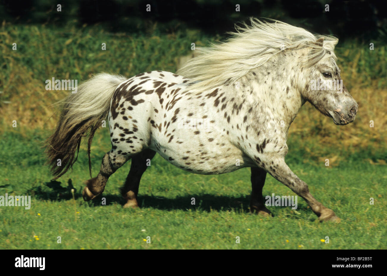 Mini-Shetlandpony (Equus caballus) in gallop over a meadow. - Stock Image