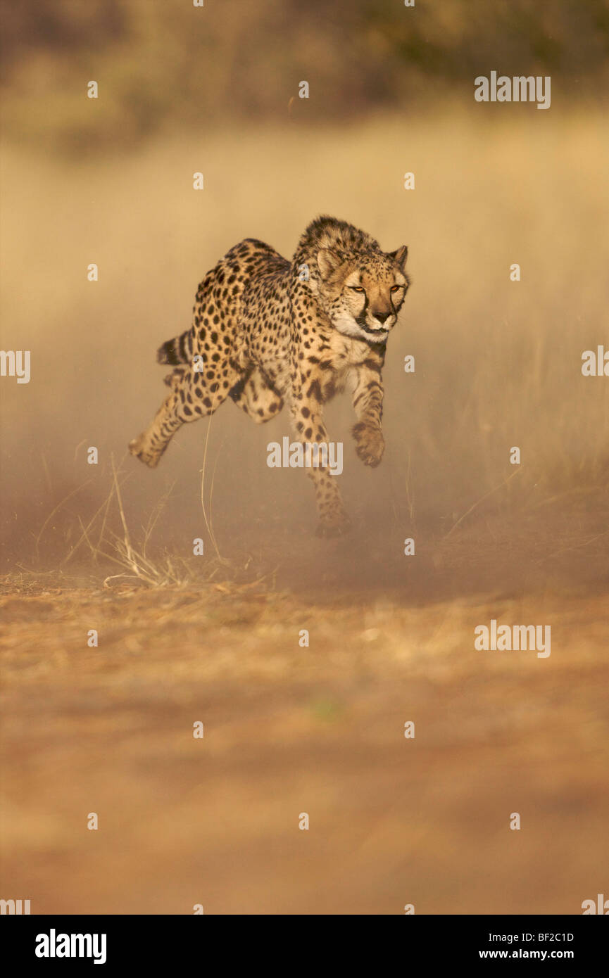 Cheetah (Acinonyx jubatus) running at full speed, Namibia. Stock Photo
