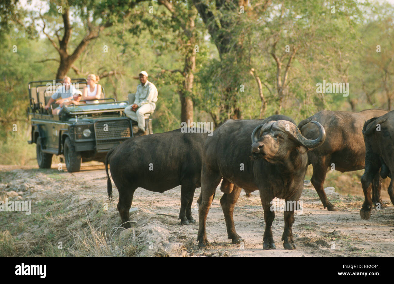 Game-drive safari watching Cape Buffalo, Syncerus caffer, South Africa - Stock Image
