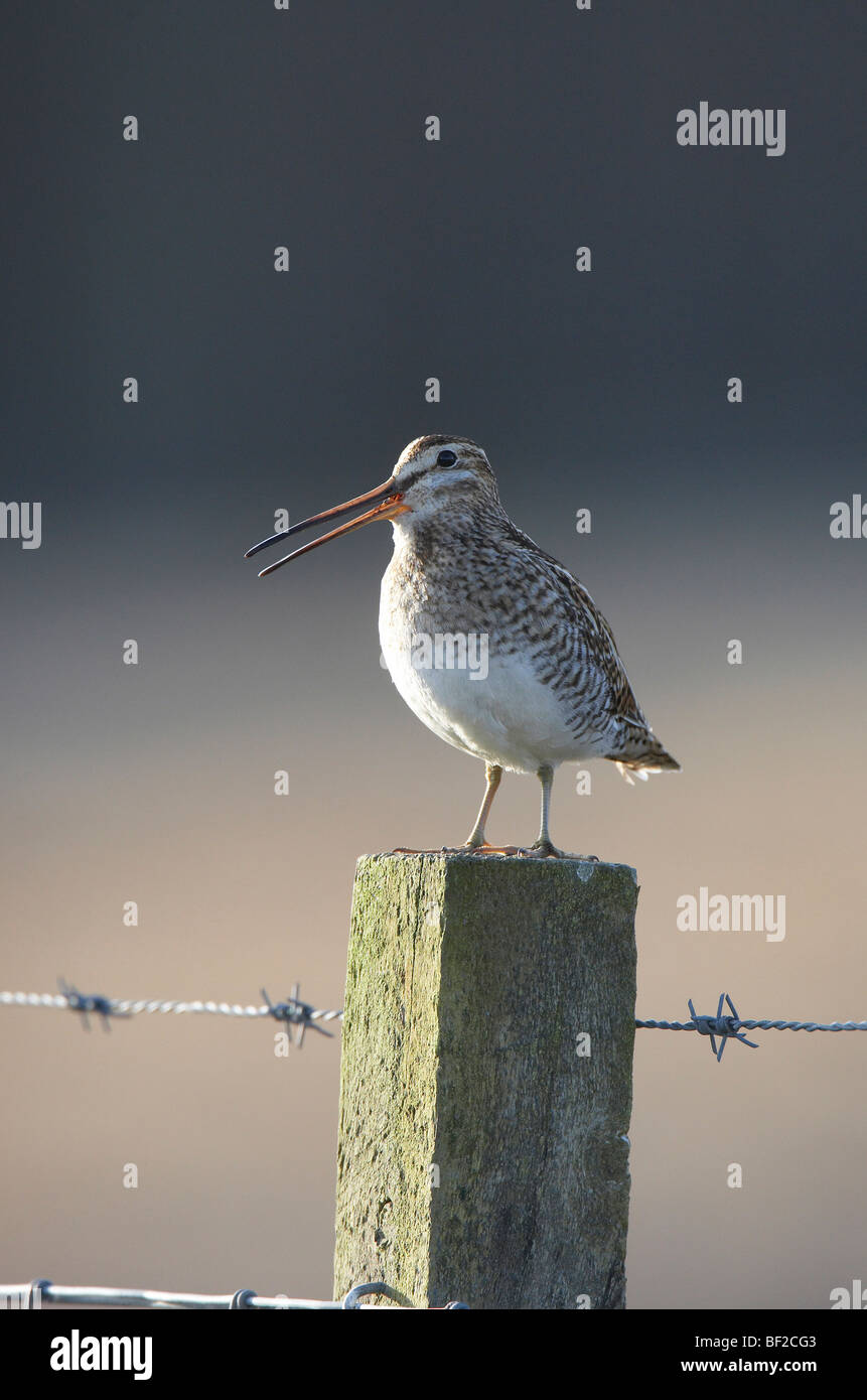 Common Snipe (Gallinago gallinago), adult calling from fence post. - Stock Image