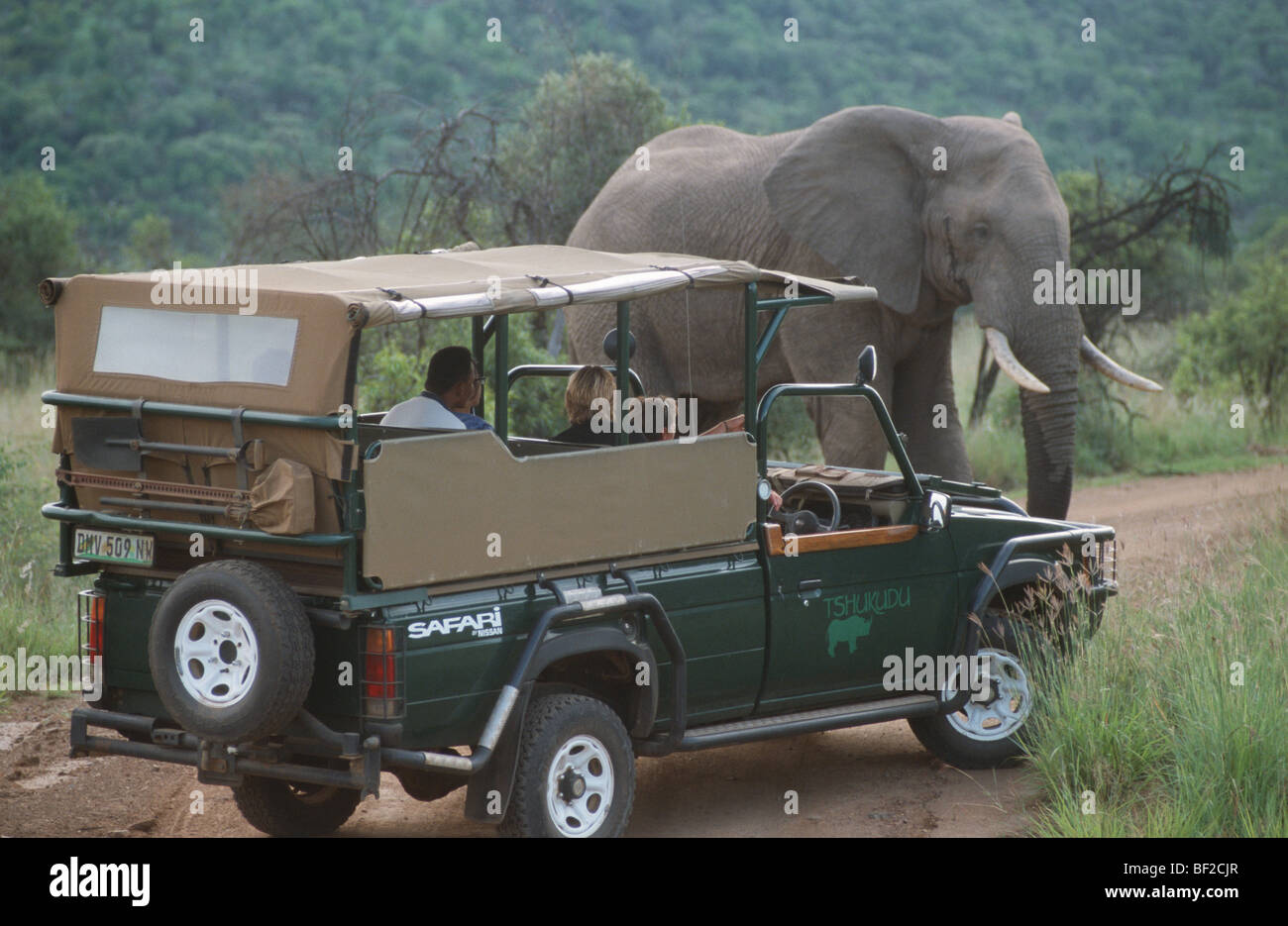 Safari grame-drive watching African elephant (Loxodonta africana), Pilansberg, Northwest Province, South Africa - Stock Image