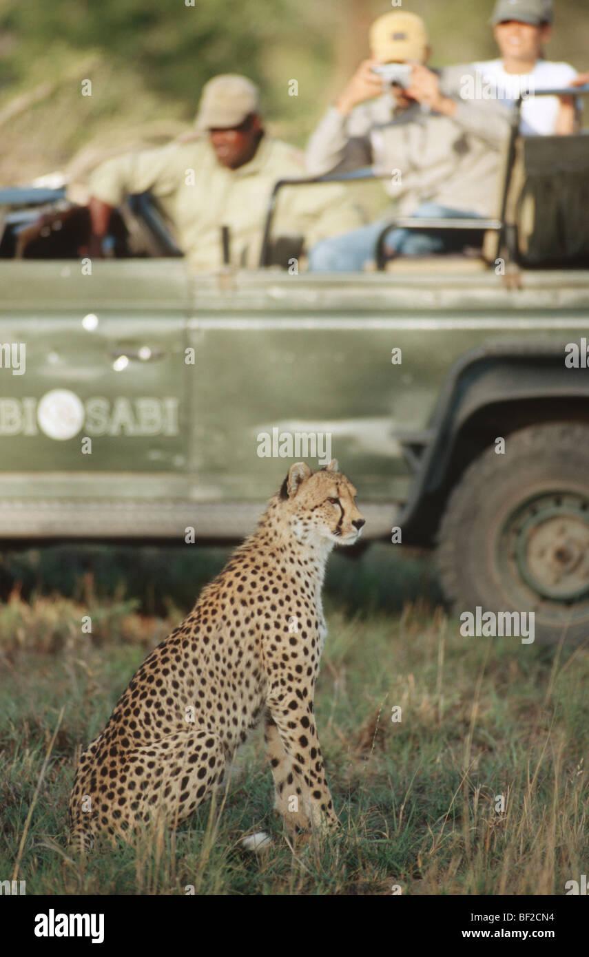 Game-drive safari watching cheetah (Acinonyx jubatus) in foreground, South Africa - Stock Image
