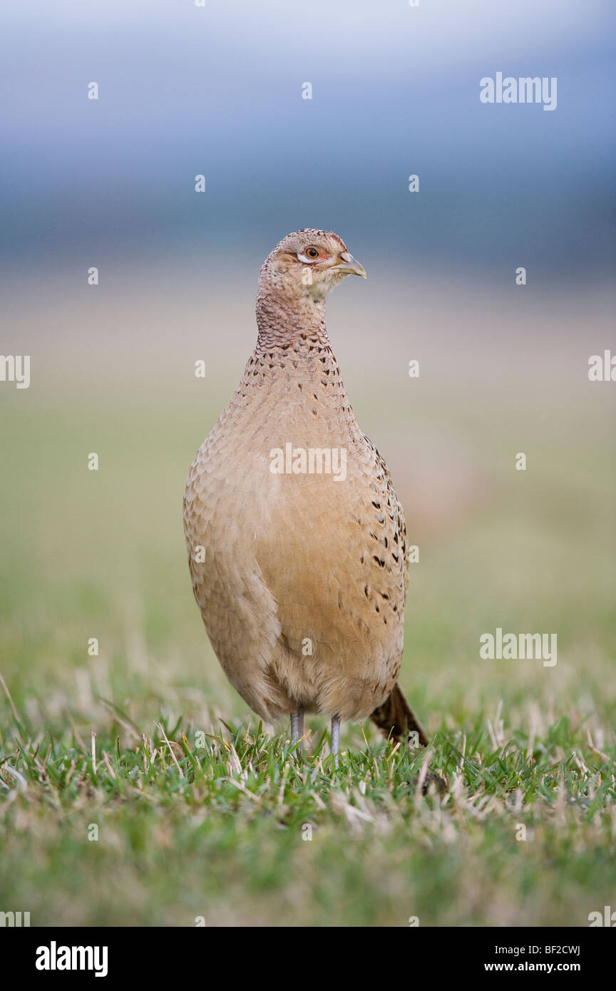 Common Pheasant, Ring-necked Pheasant (Phasianus colchicus), portrait of adult female in field. - Stock Image