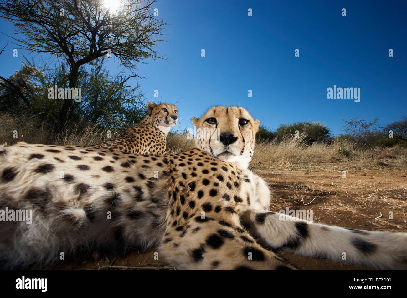 Close up of cheetah (Acinonyx jubatus) looking at camera, Na'an ku se Wild Life Sanctuary, Namibia. - Stock Image