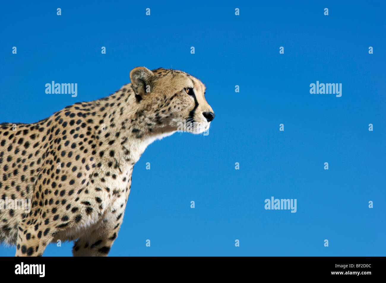 Profile view of a cheetah (Acinonyx jubatus), (Acinonyx jubatus), Na'an ku se Wild Life Sanctuary, Namibia. - Stock Image
