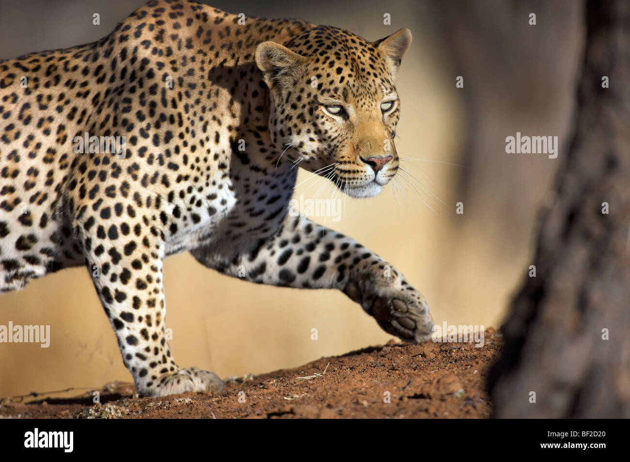 Close up o a Cheetah (Panthera Pardus) stalking,Okonjima Lodge and Africat Foundation, Namibia - Stock Image