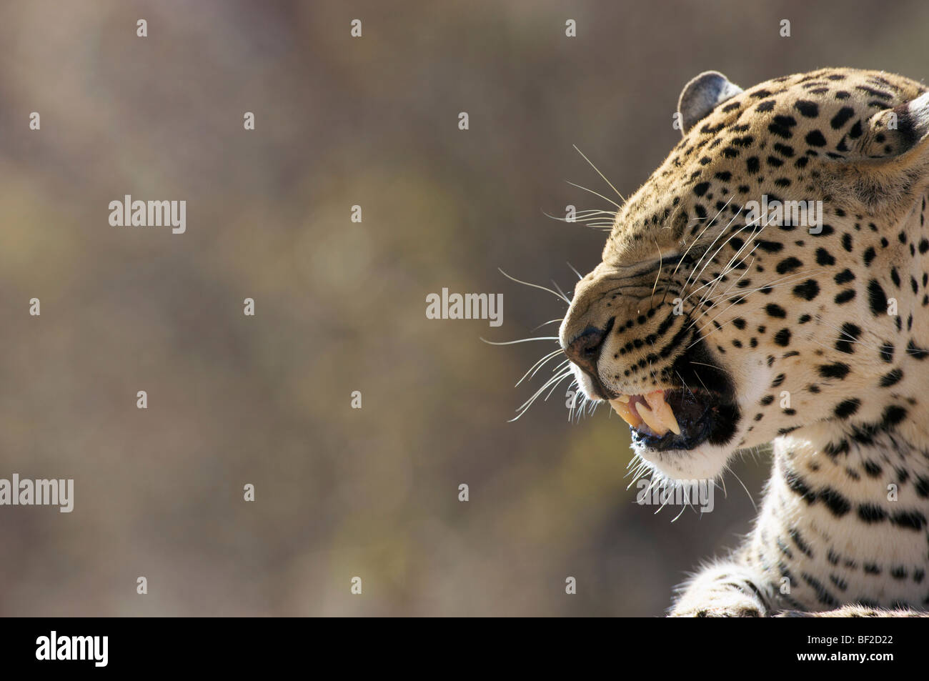 Side view of a Leopard (Panthera Pardus) snarling, Okonjima Lodge and Africat Foundation, Namibia. - Stock Image