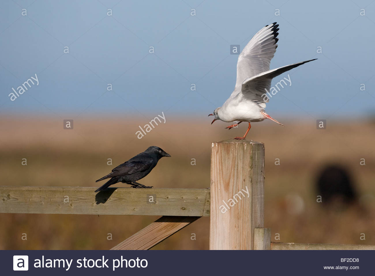 Jackdaw Corvus monedula harrassing Black-headed Gull with tail injury - Stock Image