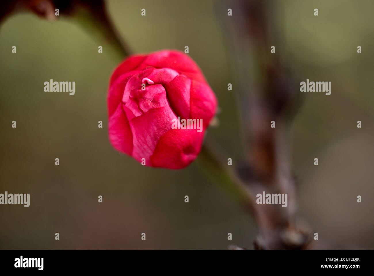 Ornamental peach tree, tree bud, bud, peach tree, pink, branch, green background, oriental, macro, close-up, close - Stock Image