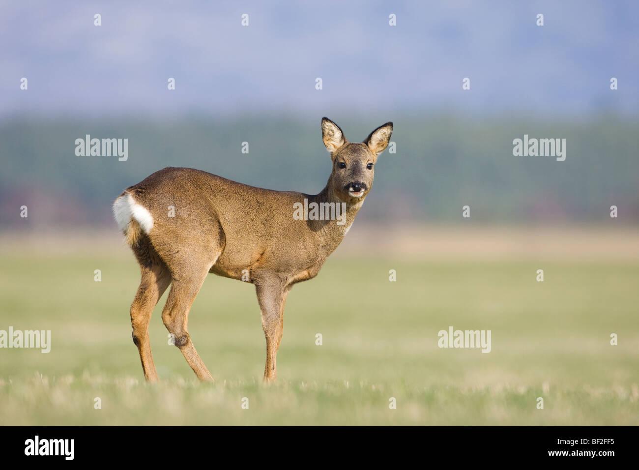 European Roe Deer (Capreolus capreolus), doe in field. Stock Photo