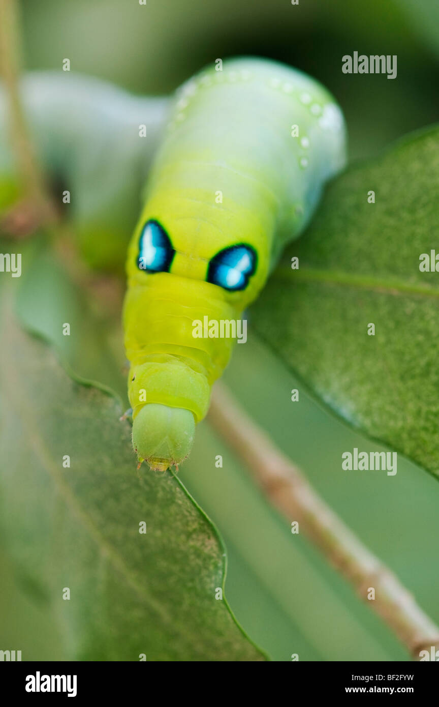 Daphnis nerii. Oleander Hawk-moth caterpillar on a leaf in India - Stock Image