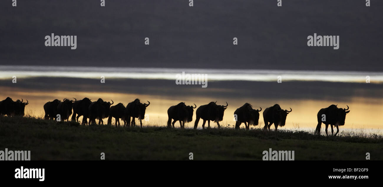 Blue Wildebeest (Connochaetes taurinus), group silhouetted on edge of lake at sunrise. - Stock Image