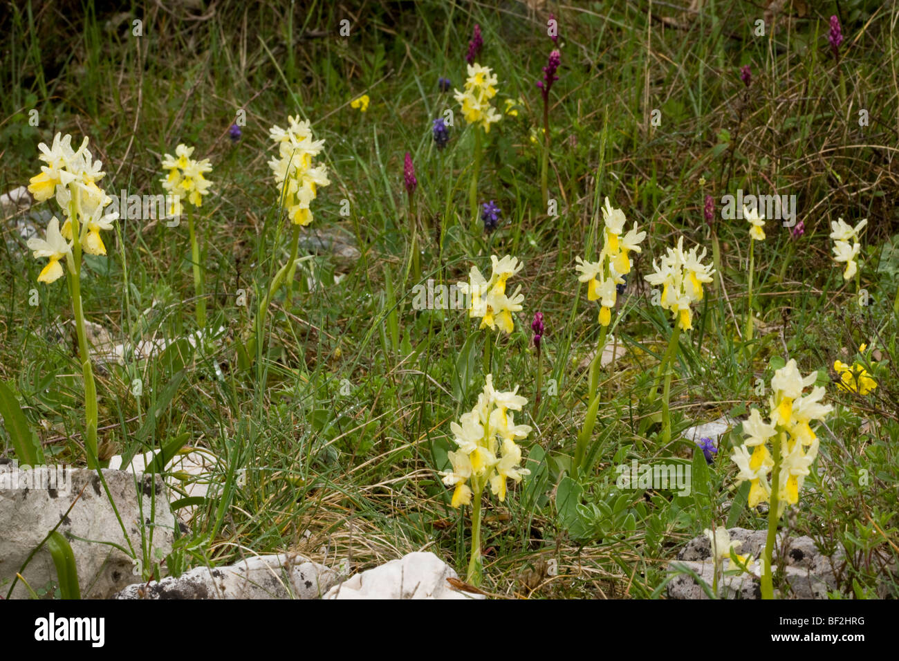 Masses of few-flowered orchids Orchis pauciflora on limestone, on the Gargano Peninsula, Italy. - Stock Image