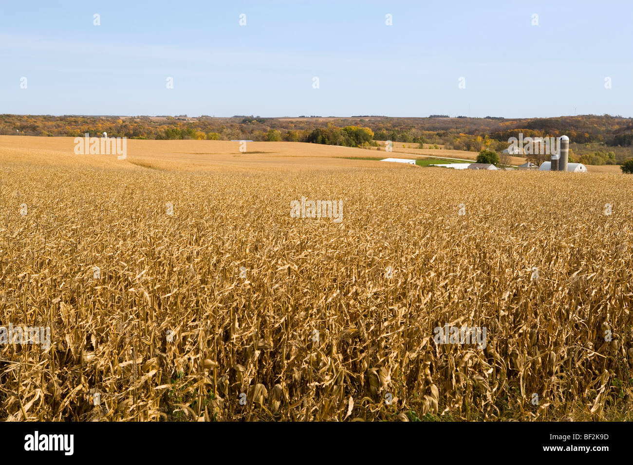 Large field of mature, harvest ready grain corn in Autumn with a farmstead in the background / near Northland, Minnesota, - Stock Image