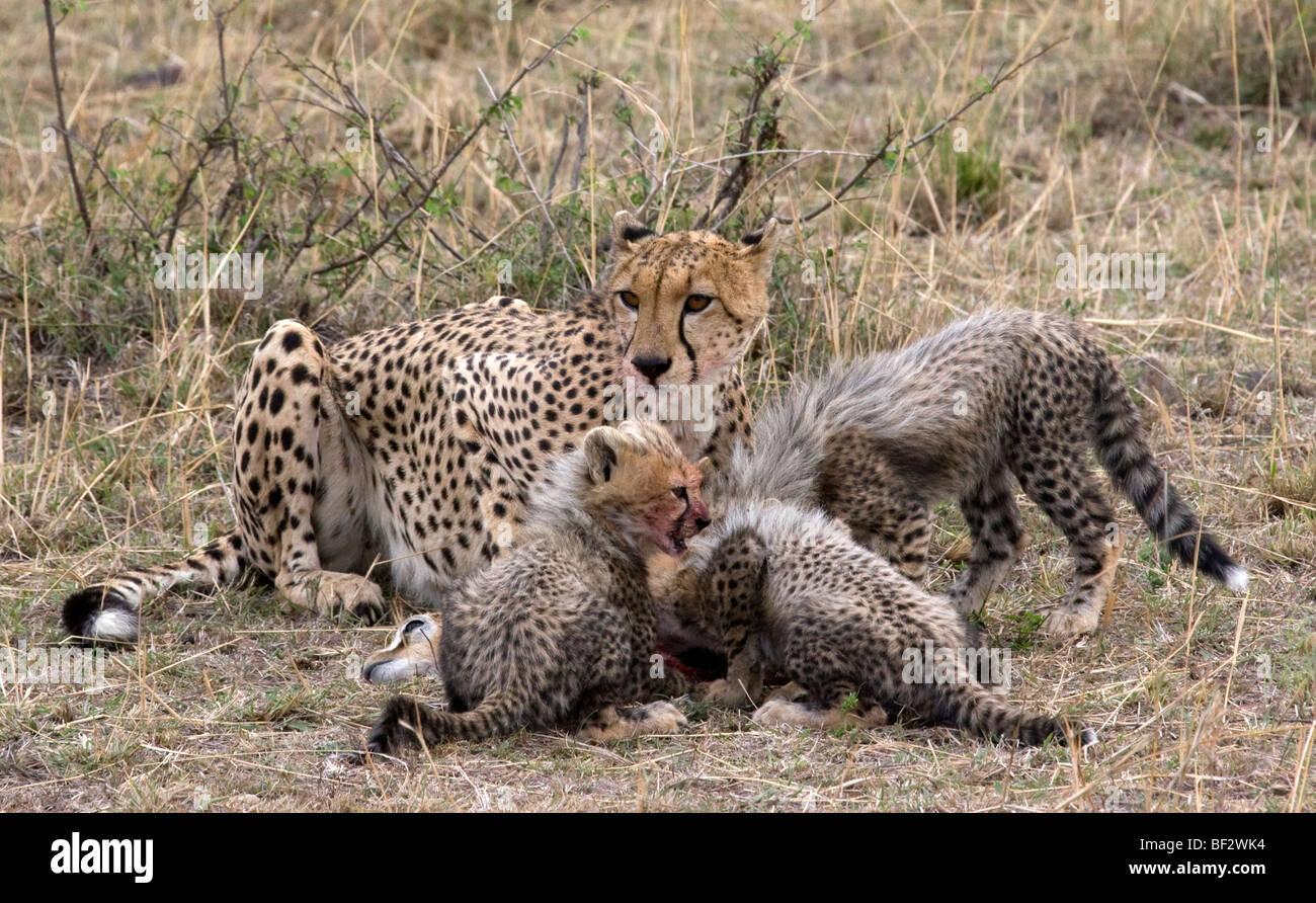 Cheetah family feeding time - Stock Image