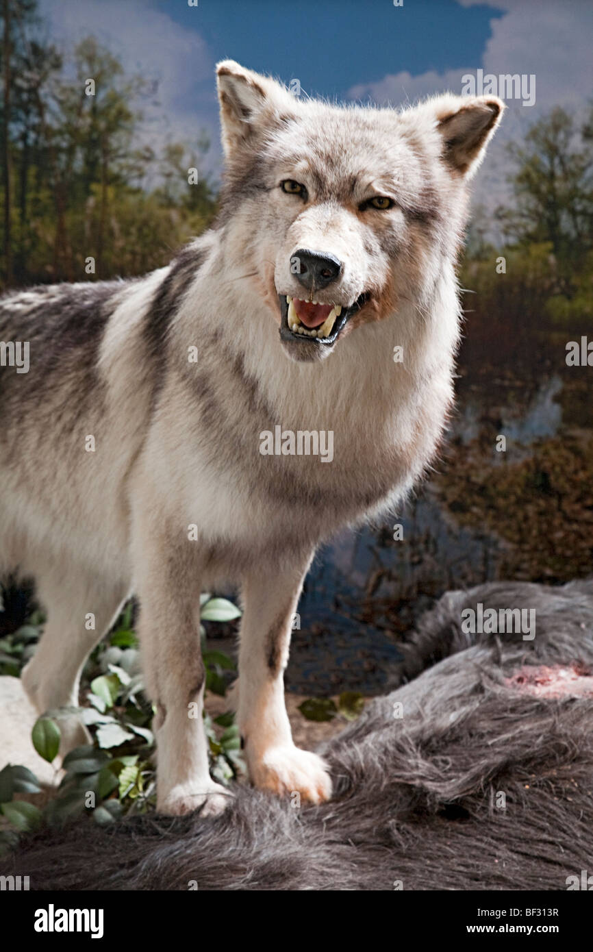 Wolf in museum display Hunebedcentrum visitor centre Borger Drenthe eastern Netherlands - Stock Image