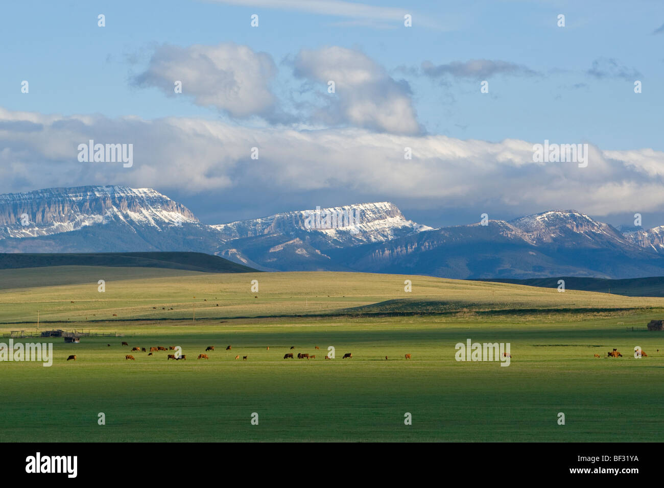 Beef cattle graze on healthy lush spring grass with the Sawtooth Ridge in the background / near Augusta, Montana, - Stock Image