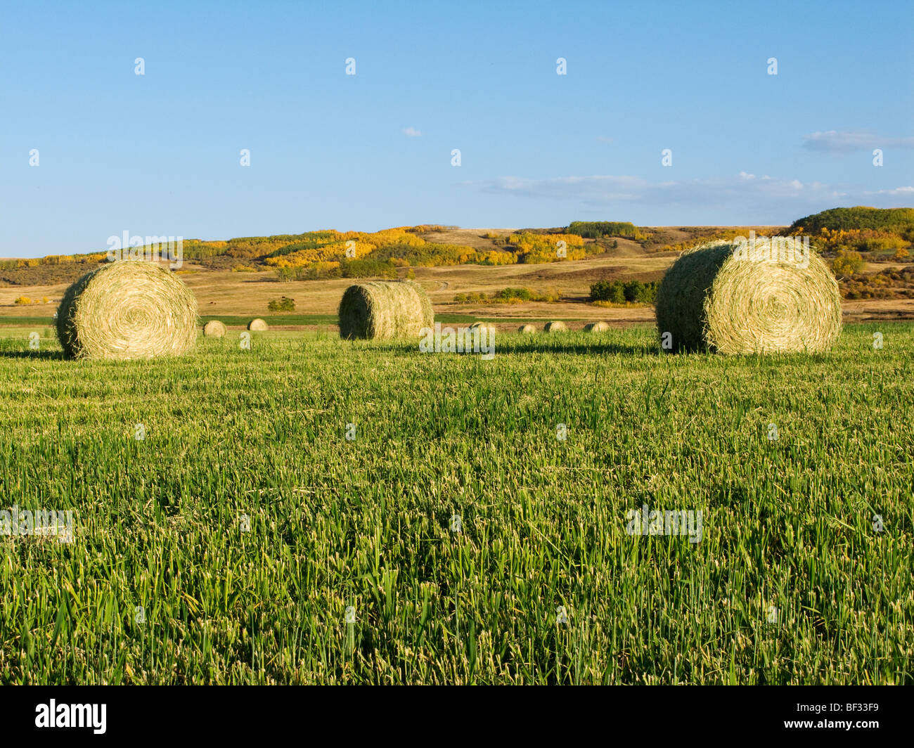 Agriculture - Round hay bales on green grass stubble / Alberta, Canada. - Stock Image