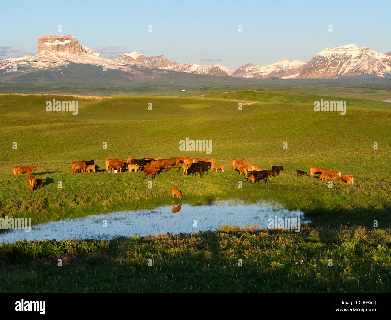 Red and black Angus cows and calves gathered at a prairie water pothole at sunrise on a foothill pasture / Alberta, - Stock Image