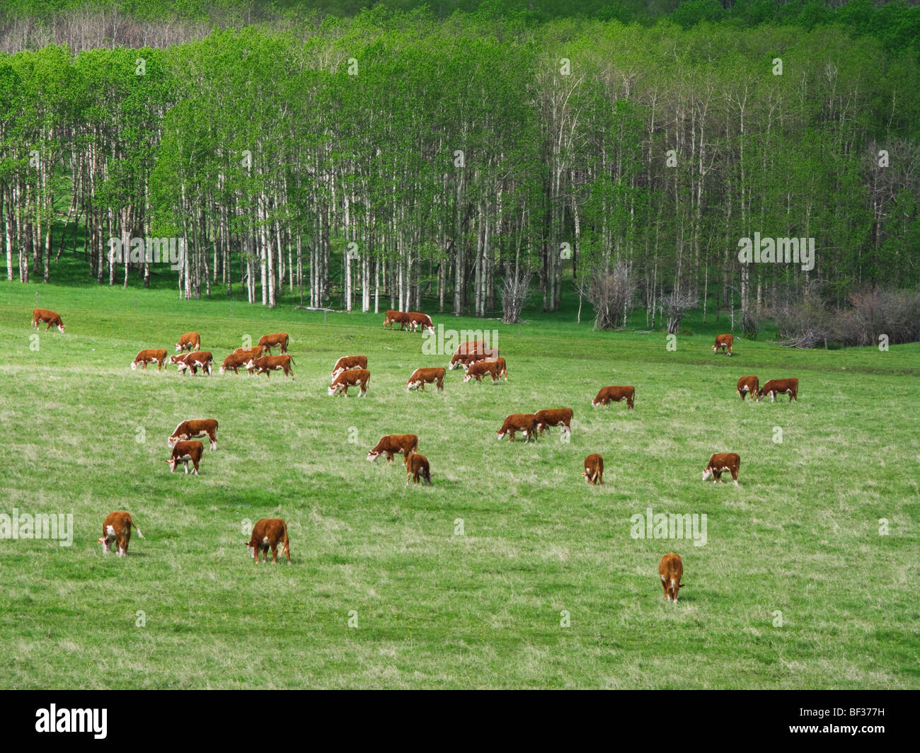 Livestock - Hereford cows grazing on an early summer foothill pasture / Alberta, Canada. - Stock Image