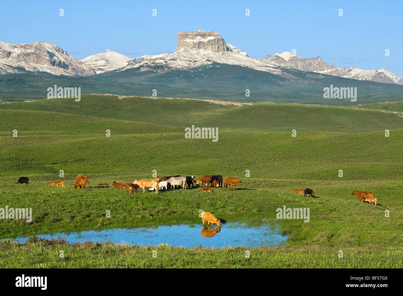Mixed breeds of beef cows and calves assemble beside a pond after sunrise in a foothills pasture near Canadian Rockies - Stock Image