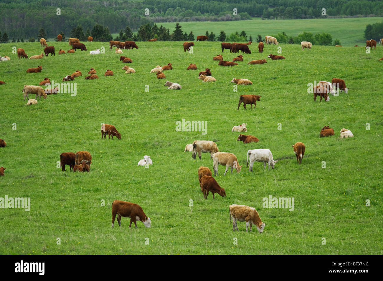 Livestock - Mixed breeds of young beef cows grazing and resting on a green pasture / Alberta, Canada. - Stock Image