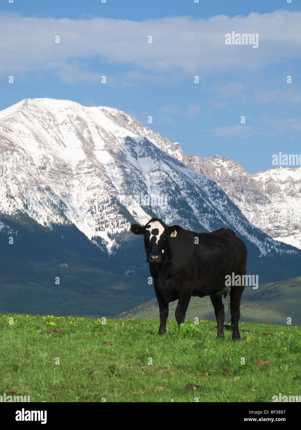 Black speckled face beef cow on a foothill pasture with snow covered Canadian Rockies in the background / Alberta, - Stock Image