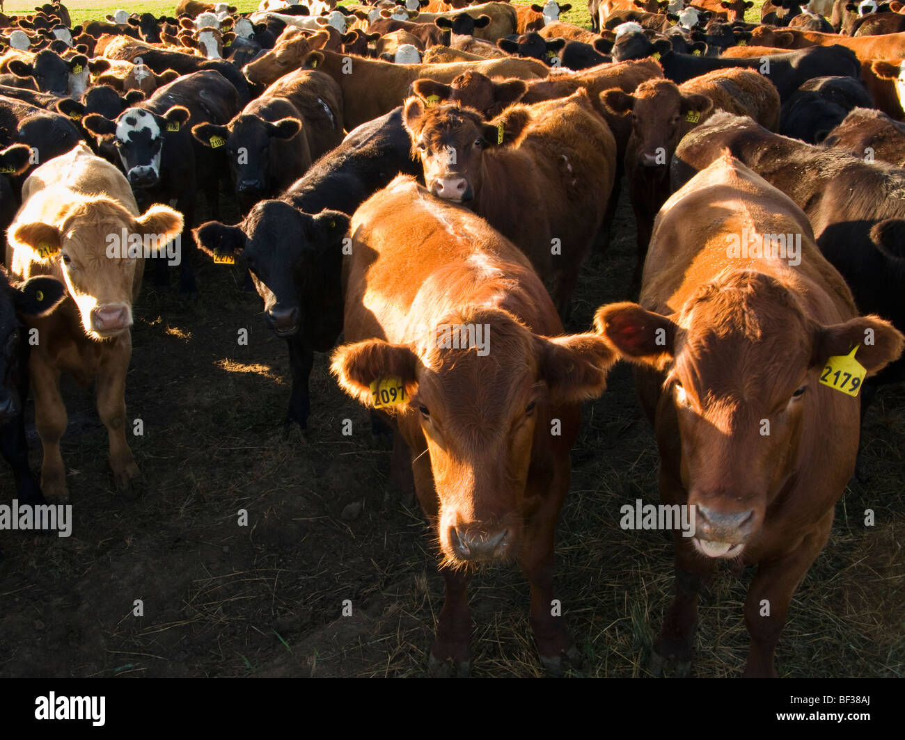 Livestock - Bunched up herd of mixed breeds of beef steers on the edge of a pasture / Alberta, Canada. - Stock Image