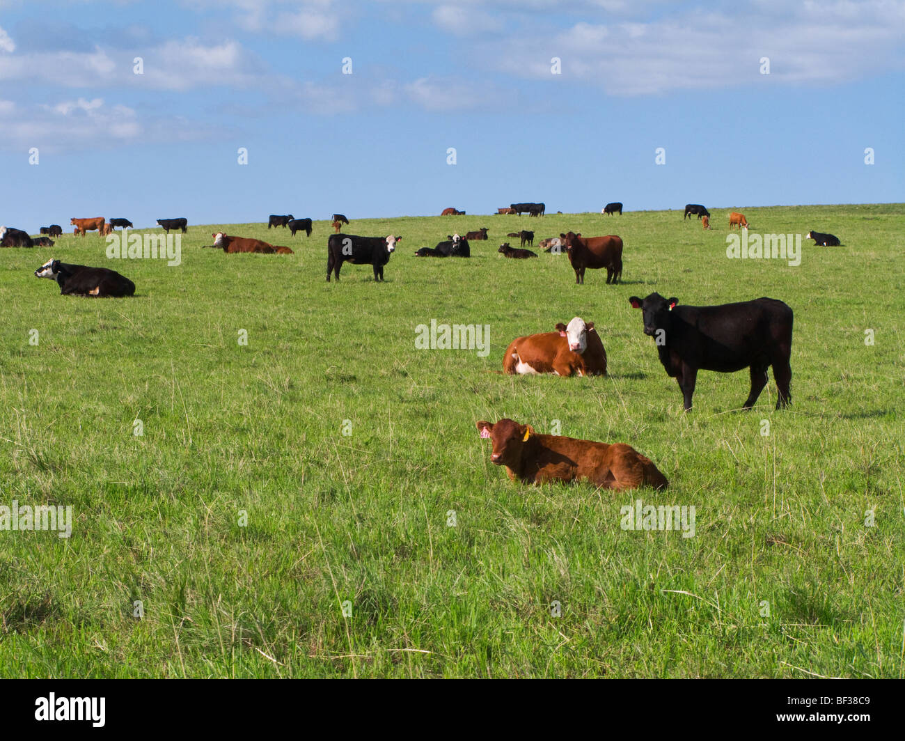 Livestock - Mixed breeds of beef cattle resting on a green pasture / Alberta, Canada. - Stock Image