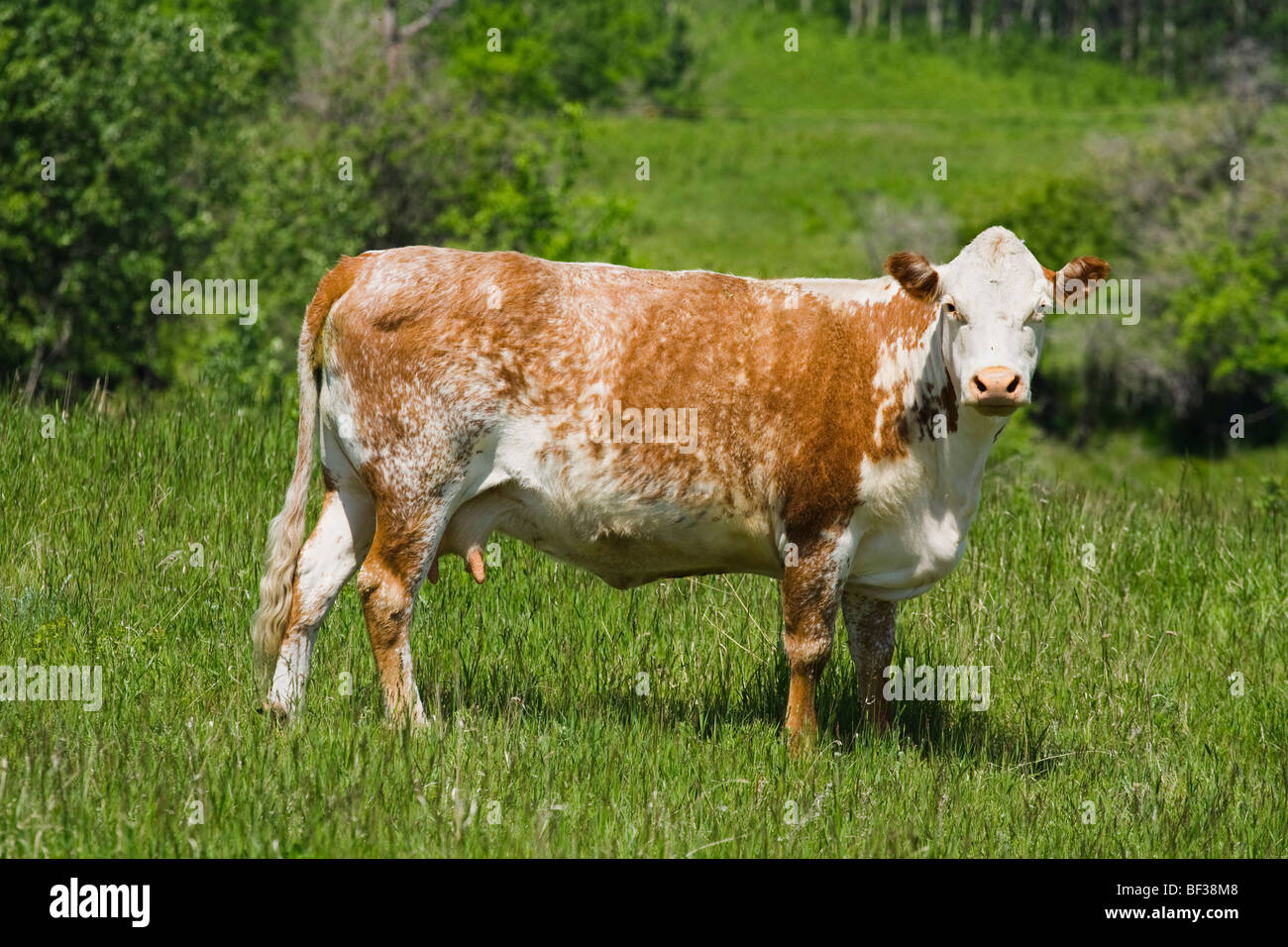 Livestock - Roan shorthorn beef cow standing in a green pasture / Alberta, Canada. - Stock Image