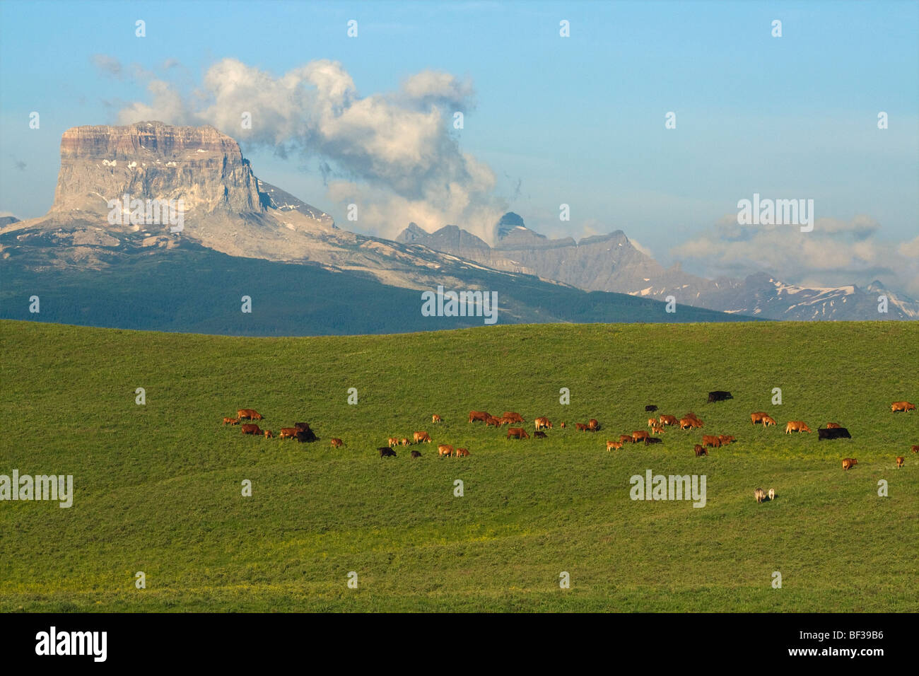 Mixed breed cows and calves grazing on a green foothill pasture with the Canadian Rockies in the background / Alberta, - Stock Image