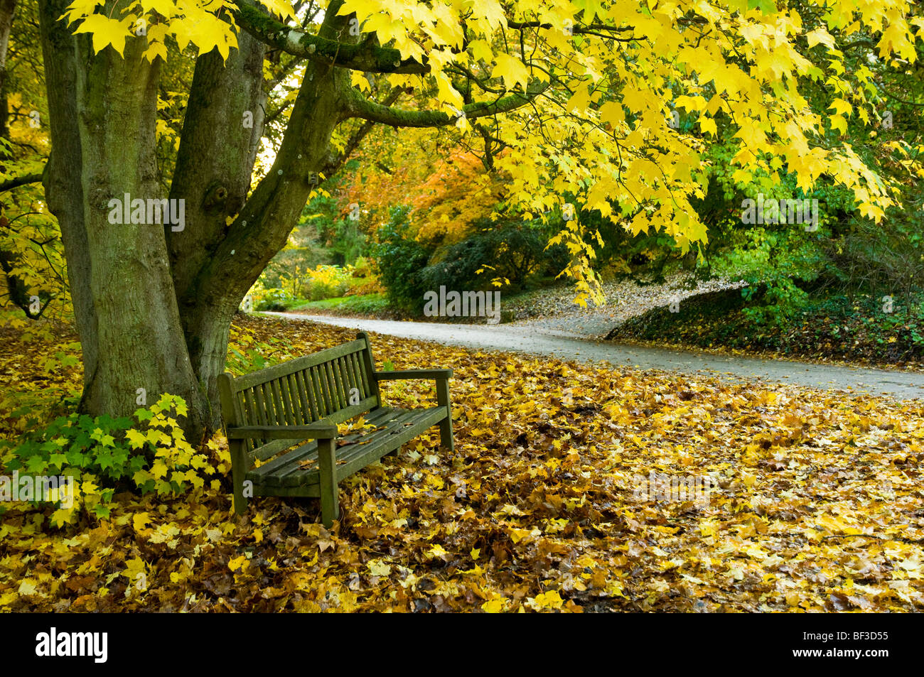 Maple Tree and Bench. Autumn Trees with  Autumnal Colour at Batsford Arboretum in the Cotswolds, Gloucestershire, - Stock Image