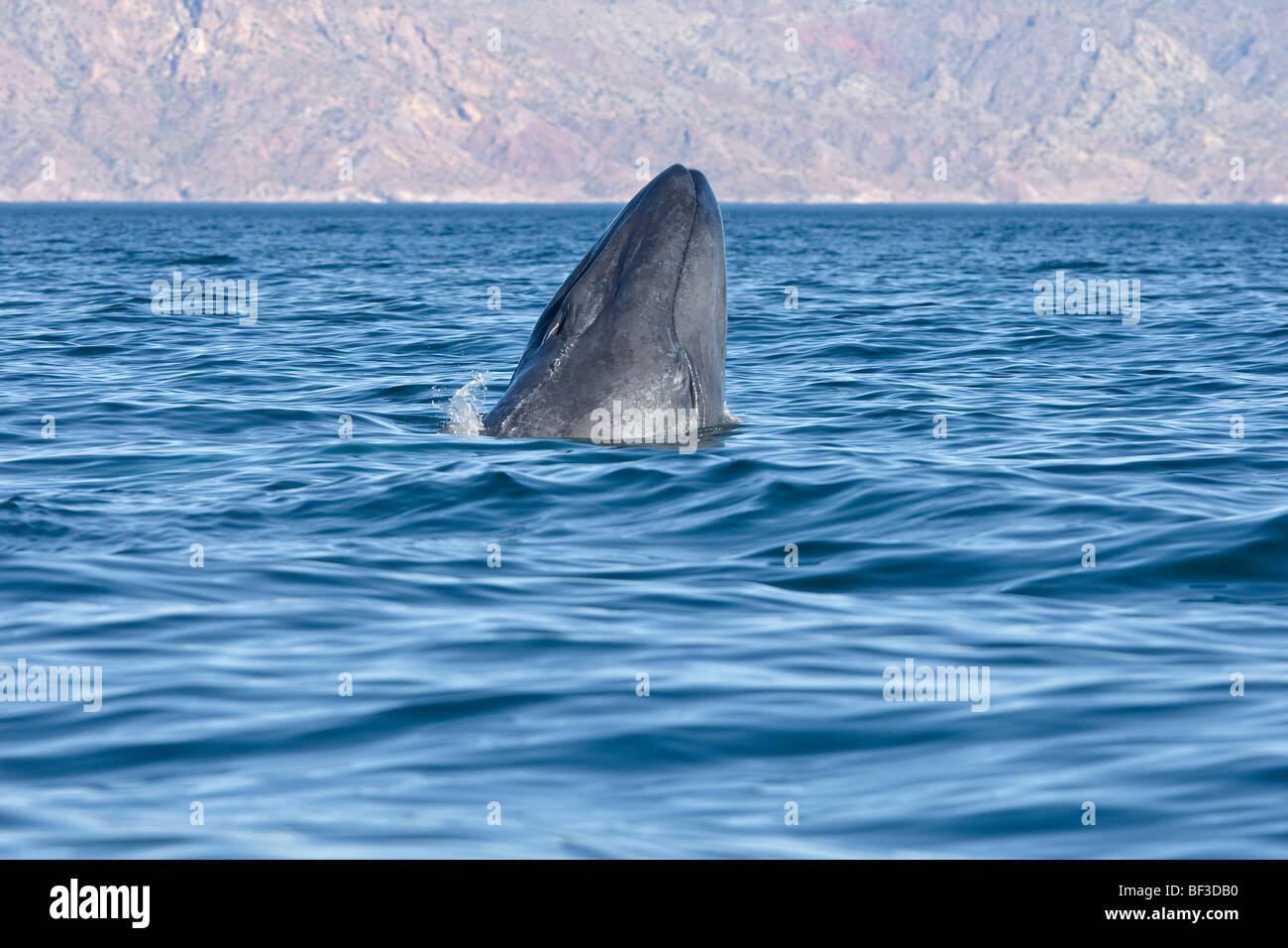 Blue Whale (Balaenoptera musculus), young spyhopping. - Stock Image