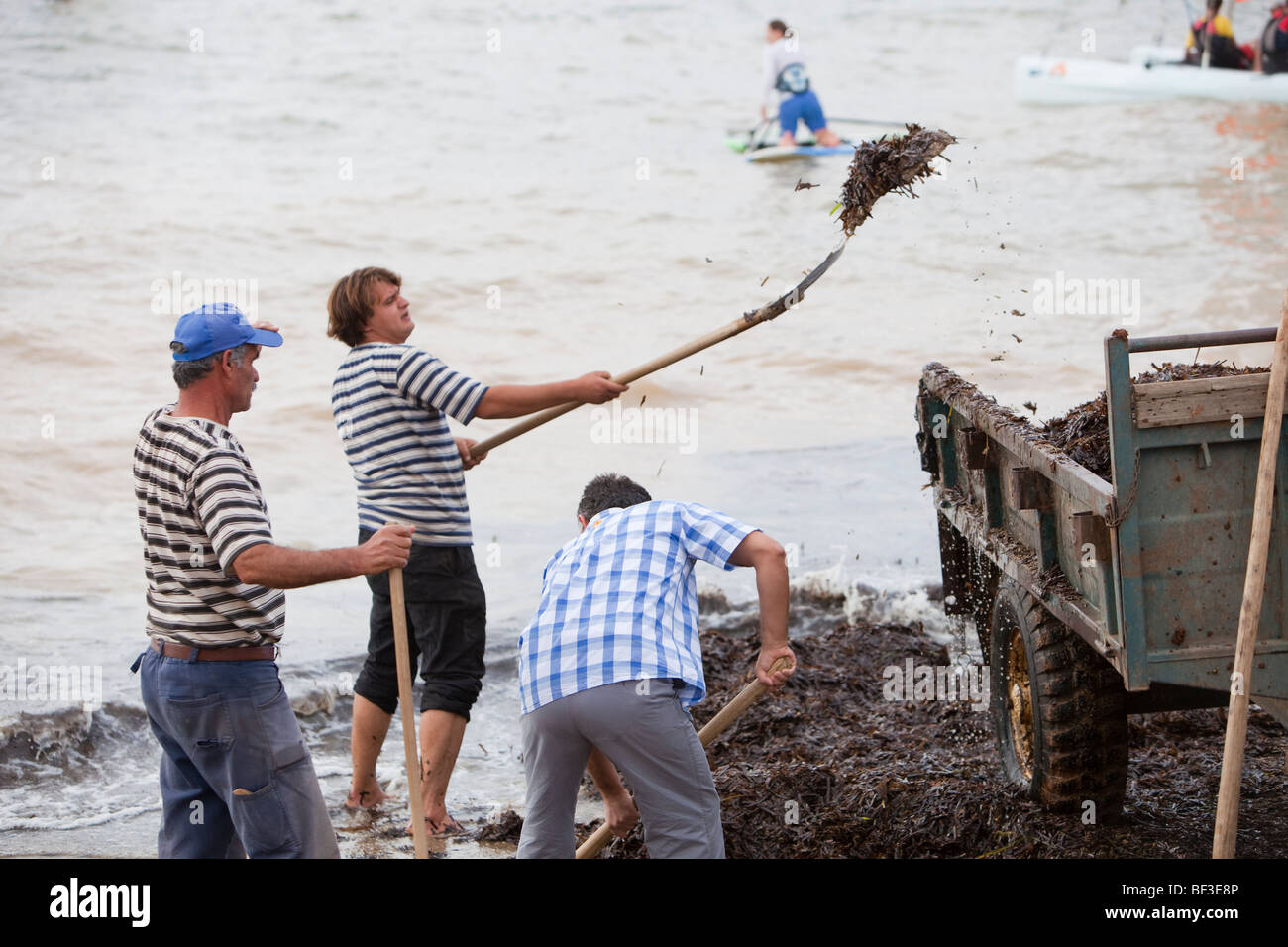 Workers shovel see weed off the beach in Teos, Turkey, after a storm. - Stock Image