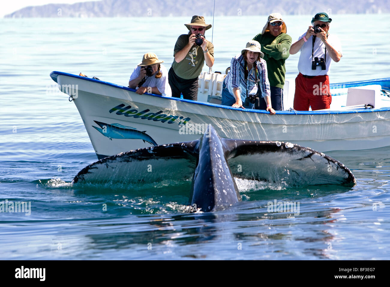 Humpback Whale (Megaptera novaeangliae). Whale-watchers watching diving whale. - Stock Image