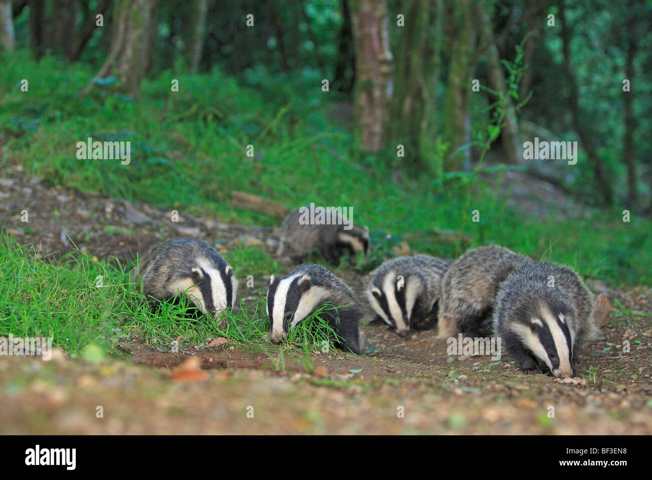 European Badger (Meles meles). Family foraging in a forest. - Stock Image