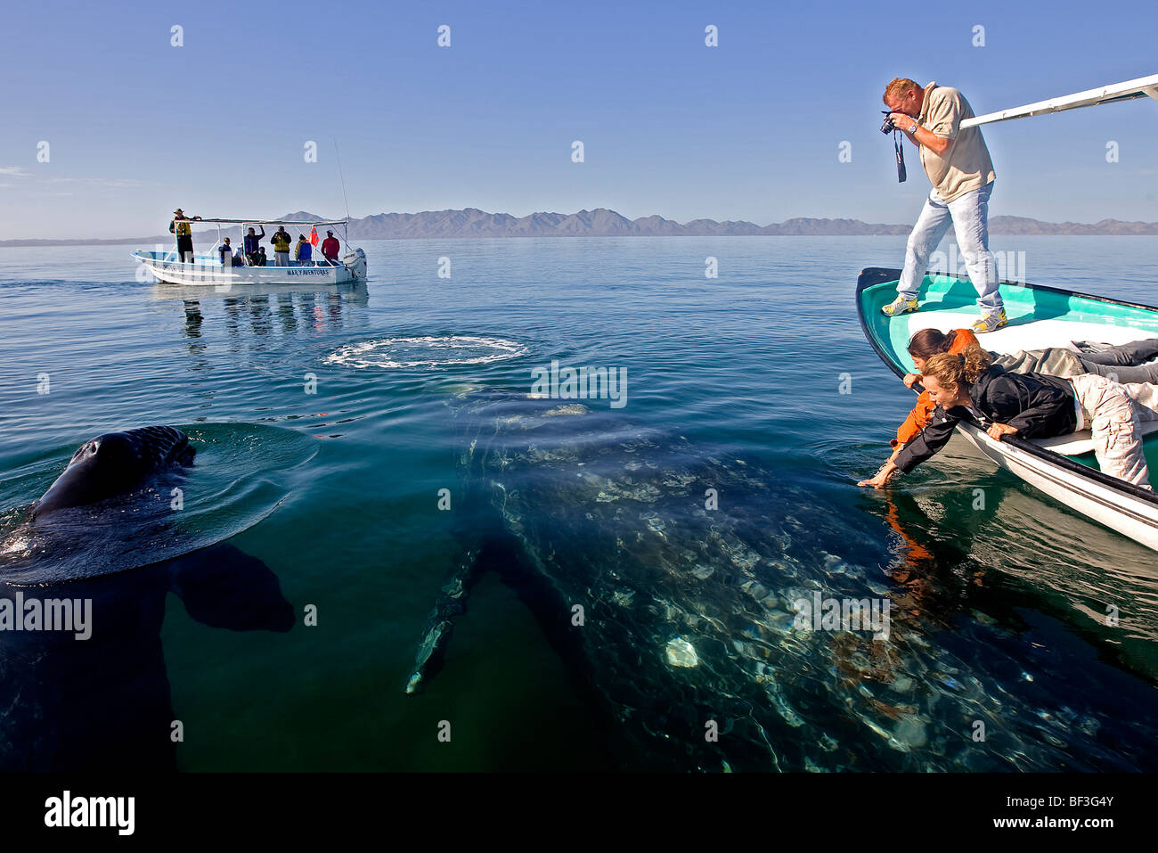 Gray Whale, Grey Whale (Eschrichtius robustus, Eschrichtius gibbosus), whale-watchers patting whale. - Stock Image