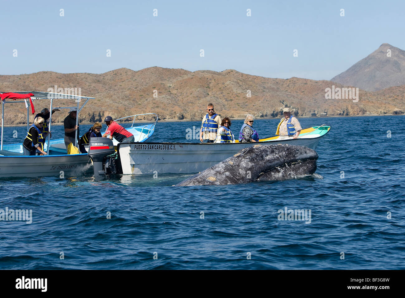 Gray Whale, Grey Whale (Eschrichtius robustus, Eschrichtius gibbosus). Whale-watchers with whale. - Stock Image