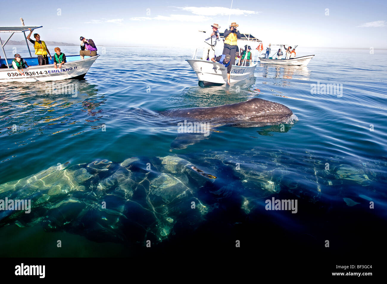 Gray Whale, Grey Whale (Eschrichtius robustus, Eschrichtius gibbosus). Whale-watchers with mother and calf. - Stock Image