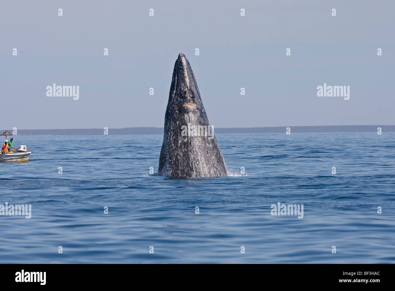 Gray Whale, Grey Whale (Eschrichtius robustus, Eschrichtius gibbosus) spyhopping in front of whale-watching boats. - Stock Image