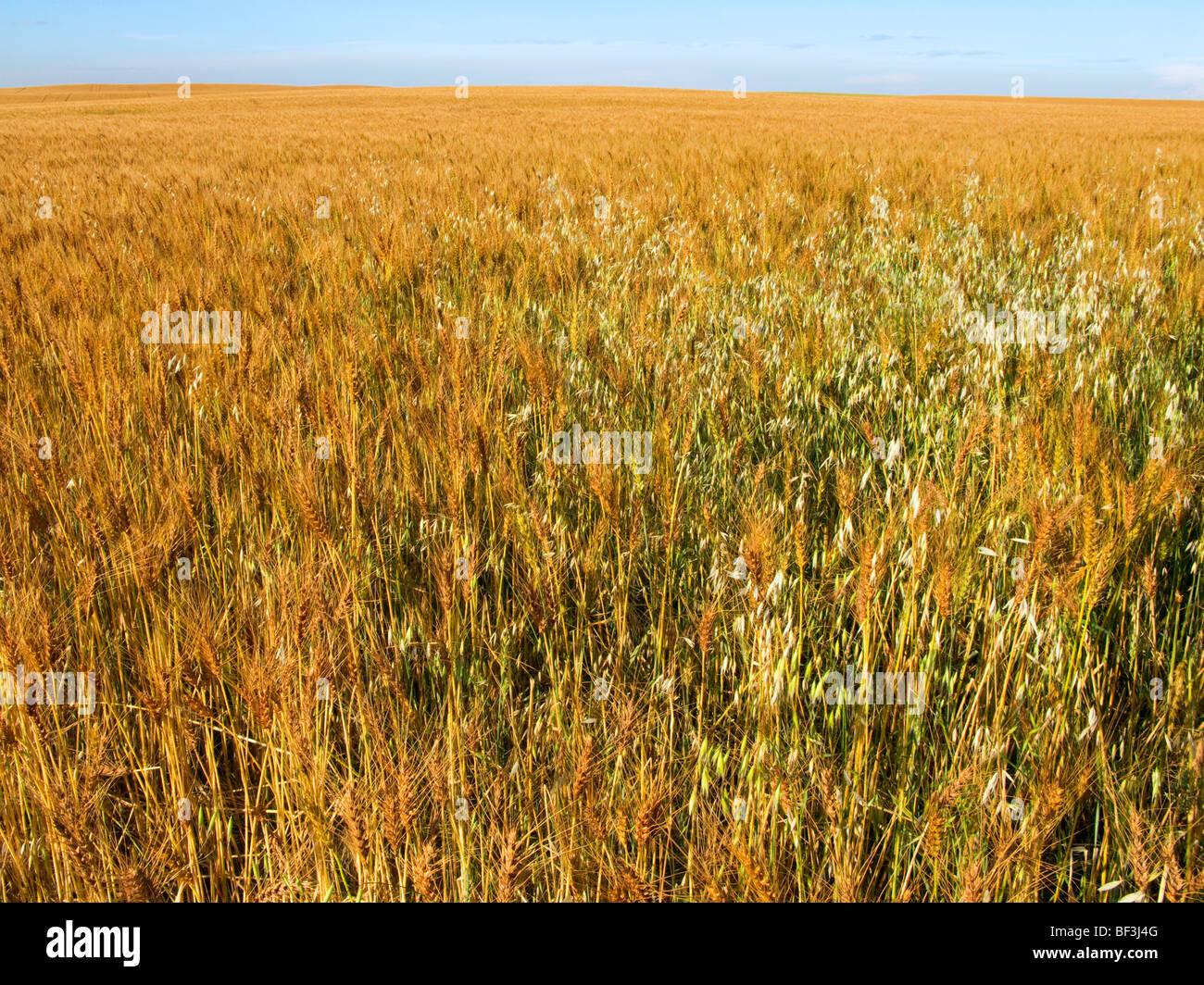 Livestock - Wild oat (Avena fatua) patch infests a ripening grain field / Alberta, Canada. - Stock Image