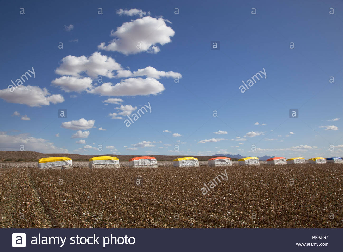 Large cotton bales colorful covers along edge picked cotton field Arizona - Stock Image