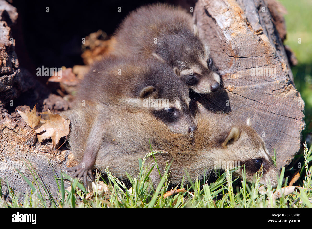 Raccoon (Procyon lotor). Female with two youngsters in a hollow tree. - Stock Image