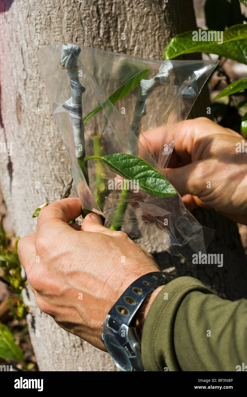 A field technician grafts multiple hybrid cultivars to a large avocado tree stump whose original nursery graft failed - Stock Image